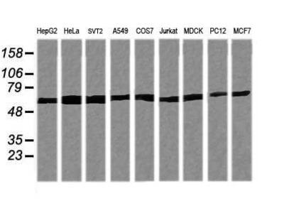 TRIM38 Monoclonal Antibody