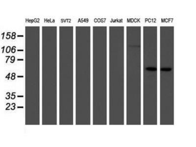 IRF6 Monoclonal Antibody