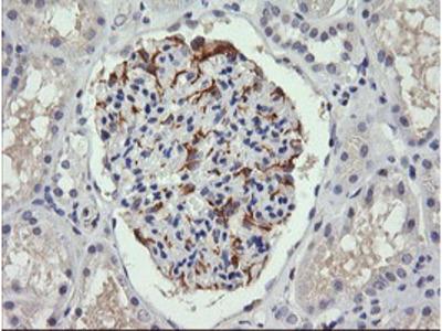 C4orf22 Monoclonal Antibody