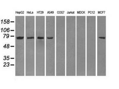CYPOR / POR Monoclonal Antibody