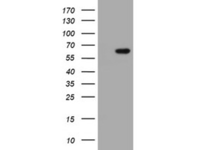 IPCEF1 / PIP3E Monoclonal Antibody