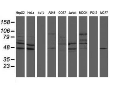 SENP2 Monoclonal Antibody