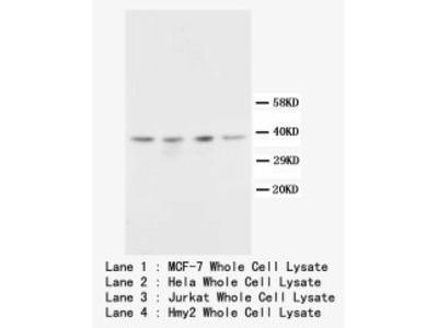 CD82 Polyclonal Antibody