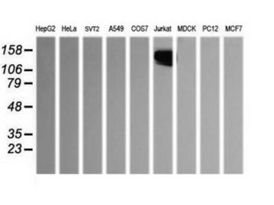 CD45 / LCA Monoclonal Antibody