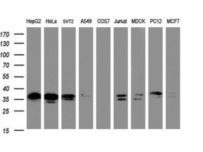 JUN / c-Jun Monoclonal Antibody