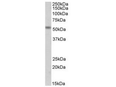 CHRNE goat polyclonal antibody, Aff - Purified
