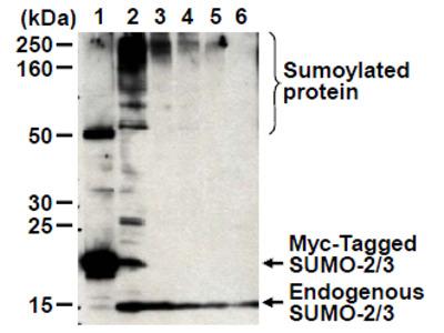 anti SUMO2