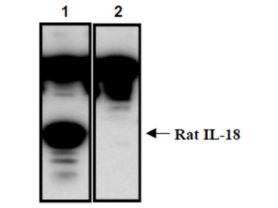 anti Interleukin-18 / IL18 (37-194)