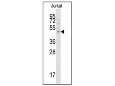 ATG4A (369-398) rabbit polyclonal antibody, Purified