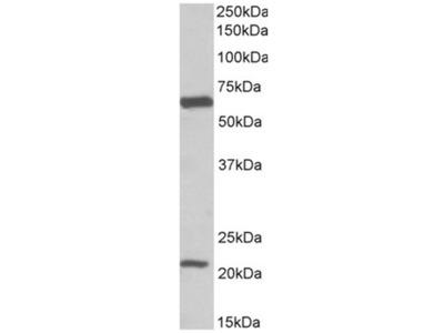 anti SLC1A3 / EAAT1 (197-208)