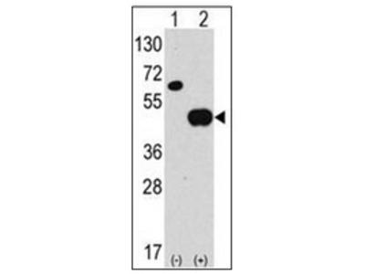 ATG4B (N-term) rabbit polyclonal antibody, Purified