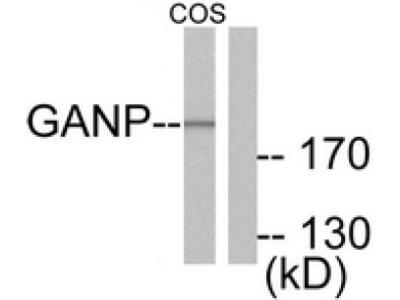 anti MCM3AP (C-term)