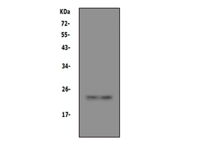 Anti-Prion protein PrP/PRNP Antibody