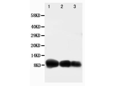 Anti-IP10/CXCL10 Antibody