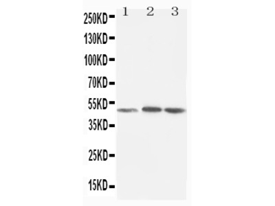 Anti-LXR alpha/NR1H3 Antibody