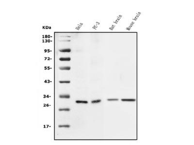 Anti-14-3-3 Sigma Antibody