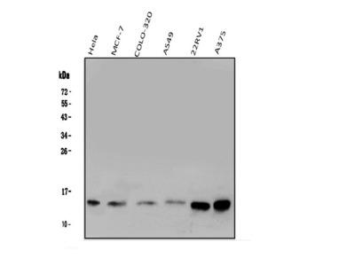 Anti-Galectin 1/LGALS1 Antibody