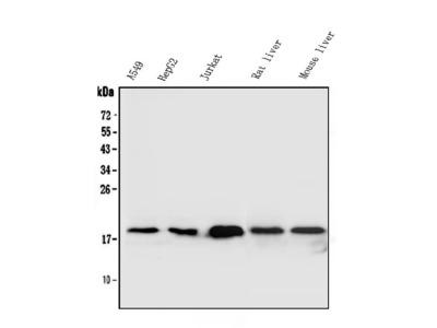 Anti-Superoxide Dismutase 1/SOD1 Antibody
