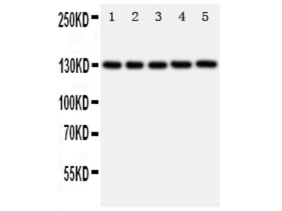Anti-PROM1/Cd133 Antibody