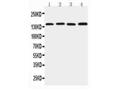 Anti-Tight junction protein ZO-2 TJP2 Antibody