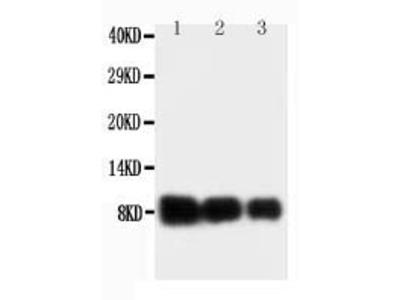 Anti-IL8/CXCL8 Antibody