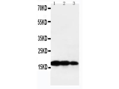 Anti-TNF beta/LTA Antibody