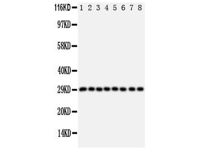 Anti-CISH Antibody