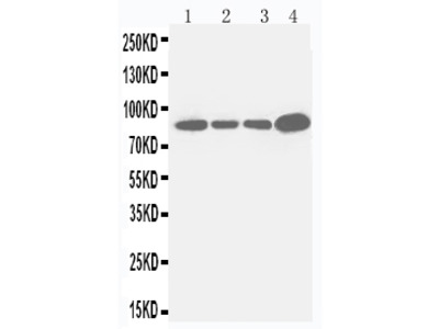 Anti-Integrin beta 3/ITGB3 Antibody