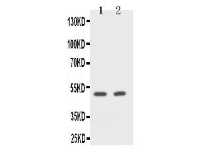 Anti-CD2/CD2 Antibody