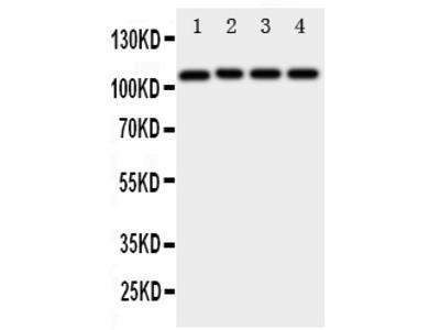 Anti-ADAM19 Antibody