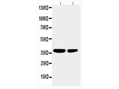 Anti-PP2A-alpha/PPP2CA Antibody