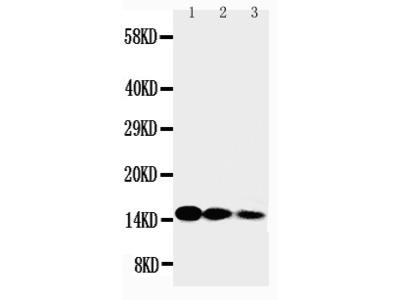 Anti-IL3 Antibody