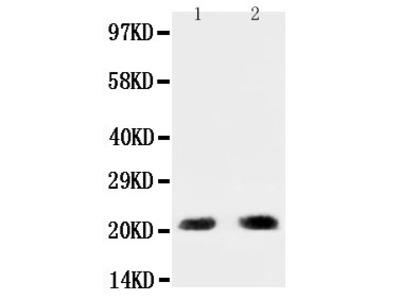 Anti-PUMA/BBC3 Antibody