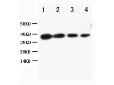 Anti-Bag1 Antibody