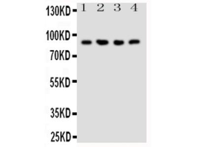 Anti-NRG2 Antibody