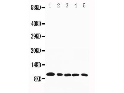 Anti-Macrophage Inflammatory Protein 1 beta/CCL4 Antibody