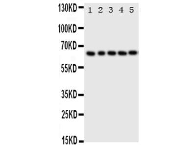 Anti-p63/TP63 Antibody