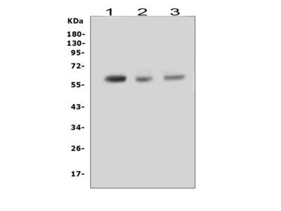 Anti-RUNX2 Antibody