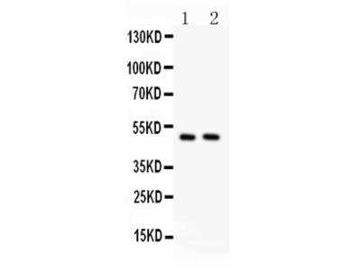 Anti-c-Myc Antibody