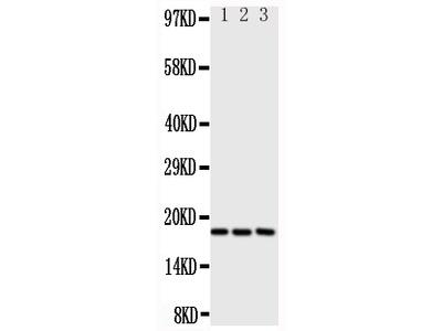 Anti-I-309/CCL1 Antibody