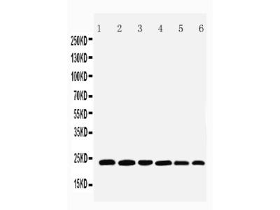 Anti-SNAP23 Antibody