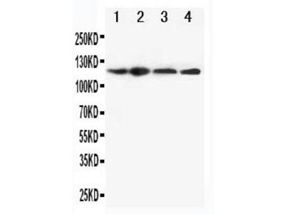 Anti-CIAS1/NALP3/NLRP3 Antibody