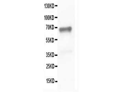 Anti-SHP2/PTPN11 Antibody