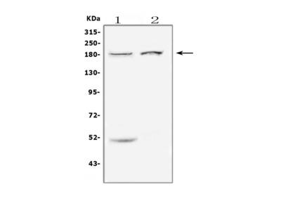 Anti-ErbB 3/ERBB3 Antibody