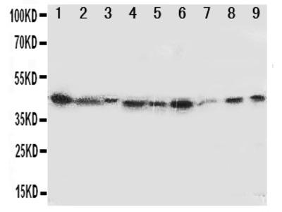 Anti-Indoleamine 2, 3-dioxygenase/IDO1 Antibody