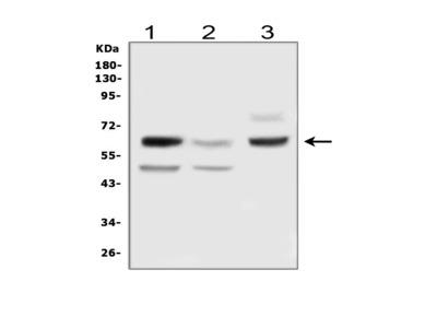 Anti-DLL3 Antibody