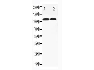Anti-TLR3 Antibody