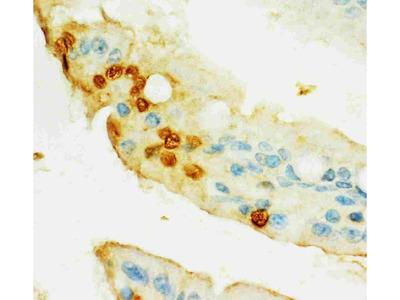Anti-HIF-2-alpha/EPAS1 Antibody