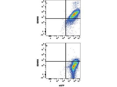 Human EDNRB / Endothelin R Type B Antibody