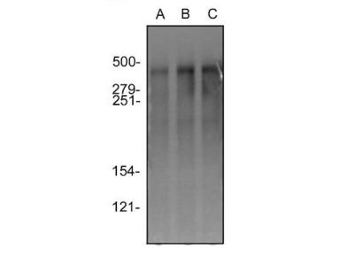 DNA-PKcs Antibody (3H6)